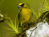 28-10-Thick-BIlled-Euphonia.jpg