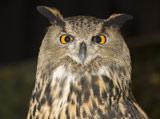 28-2-African-Eagle-Owl.jpg