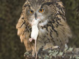28-4-Eagle-Owl-with-mouse.jpg