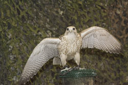 28-5-Falcon.jpg
