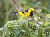 28-9-Yellowed-Tailed-Oriole.jpg