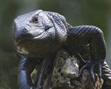 30-01-_Camen_Lizard.jpg