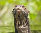 30-05_-_Giant_Otter_XB.jpg