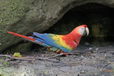 30-07_-_Red_Macaw_XB.jpg