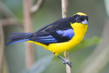 30-12_-_Blue-winged_Tanager.jpg