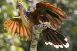 30-21_-_Hoatzin_for_newsletter.jpg