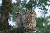 31-02_Barred-Owl.jpg