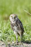 31-03_Burrowing_owl.jpg