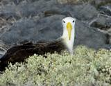 31-08_Waved_Albatross.jpg