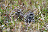 32-01_Burrowing_owl..jpg
