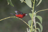 32-02_Crimson-backed_Tanager_11.jpg