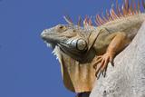32-05_Iguana.jpg
