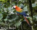 32-09_Scarlet_Macaw.jpg