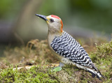 33-4-Red-crowned-Woodpecker.jpg