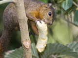 33-8-Red-tailed-Squirrel.jpg