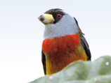 34-13-Toucan-Barbet.jpg