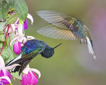 34-5-Angel-Wing-Hummer.jpg