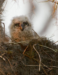 35-10-Horned-Owl-Chick.jpg
