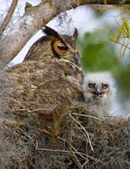 35-11-horned-owl-chik.jpg