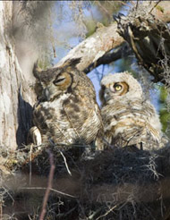 35-12-Great-Horned-Owl-Chic.jpg