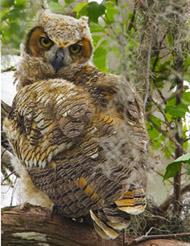 35-13-horned-owl.jpg