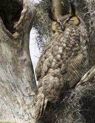 35-14-horned-owl.jpg