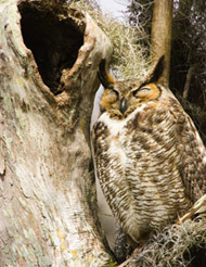 35-15-Horned-Owl-Adult-at-H.jpg