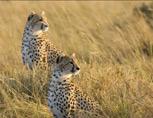 35-17-cheetahs.jpg