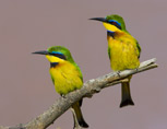 35-19-Little-Bee-Eater.jpg