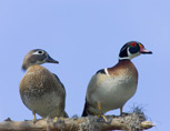 35-2-wood-ducks.jpg