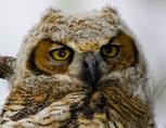 35-3-Great-Horned-Owl-Chick.jpg