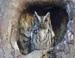 35-4-screech-owl.jpg
