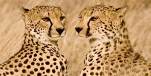 35-5-Cheetah-brothers.jpg