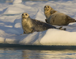 36-3-Harbor-Seals.jpg
