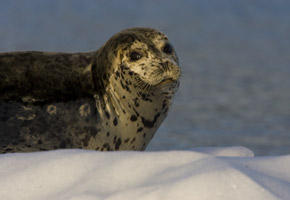 36-5-harbor-seal.jpg