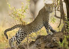 36-9-Leopard.jpg