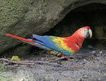 37-1-Red-Macaw-XB.jpg