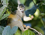 37-10---Squirrel-Monkey-1-X.jpg