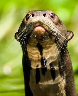 37-6-Giant-Otter.jpg