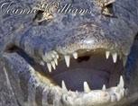38-02-Caiman-Teeth.jpg