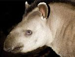 38-09-Tapir-Lg.jpg