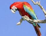 38-11-Red-and-Green-Macaw-L.jpg