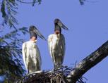 39-2-Jabiru-Stork.jpg
