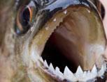 39-3-Piranha.jpg