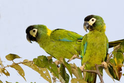 39-6-Yellow-collared-Macaw.jpg