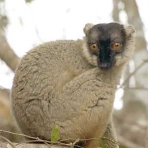49_CommonBrownLemur.jpg