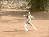 49_DancingLemurs3.jpg