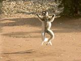 49_DancingLemurs4.jpg