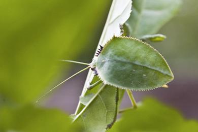 50_Leaf-Bug.jpg