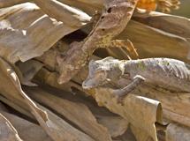 50_Leaf-tailedGecko.jpg